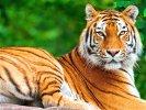 É uma das espécies mais ameaçadas de extinção dentre os grandes felinos do planeta, seja pela caça ilegal ou pela destruição de seu habitat.